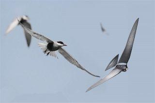 Bionic Bird 遥控仿真鸟,太过逼真,竟能吸引到小鸟